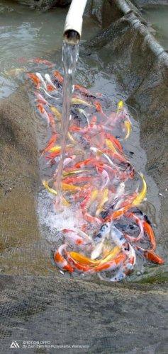 Ikan koi kiloan cirata
