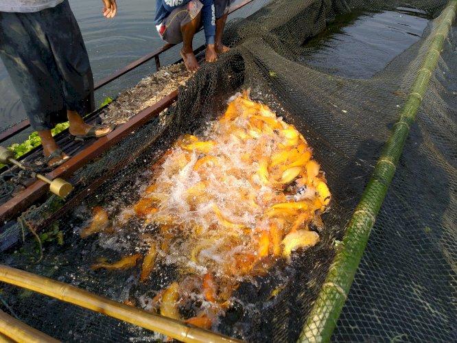 Ikan mas kuning