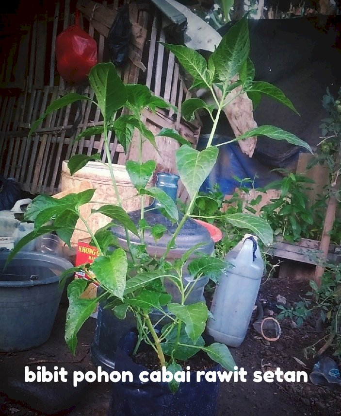 bibit pohon cabai rawit setan