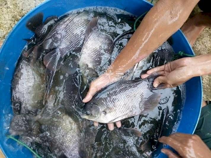 Agen Ikan Gurame Bogor