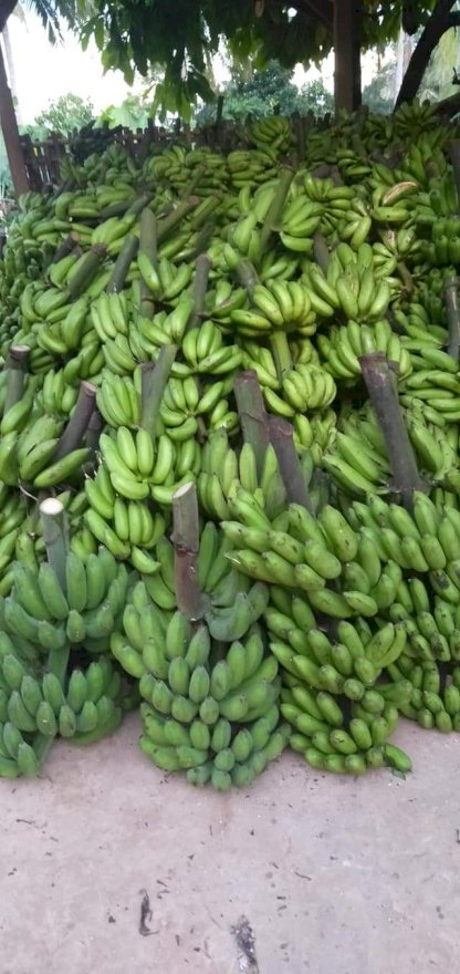 kelapa tua pisang