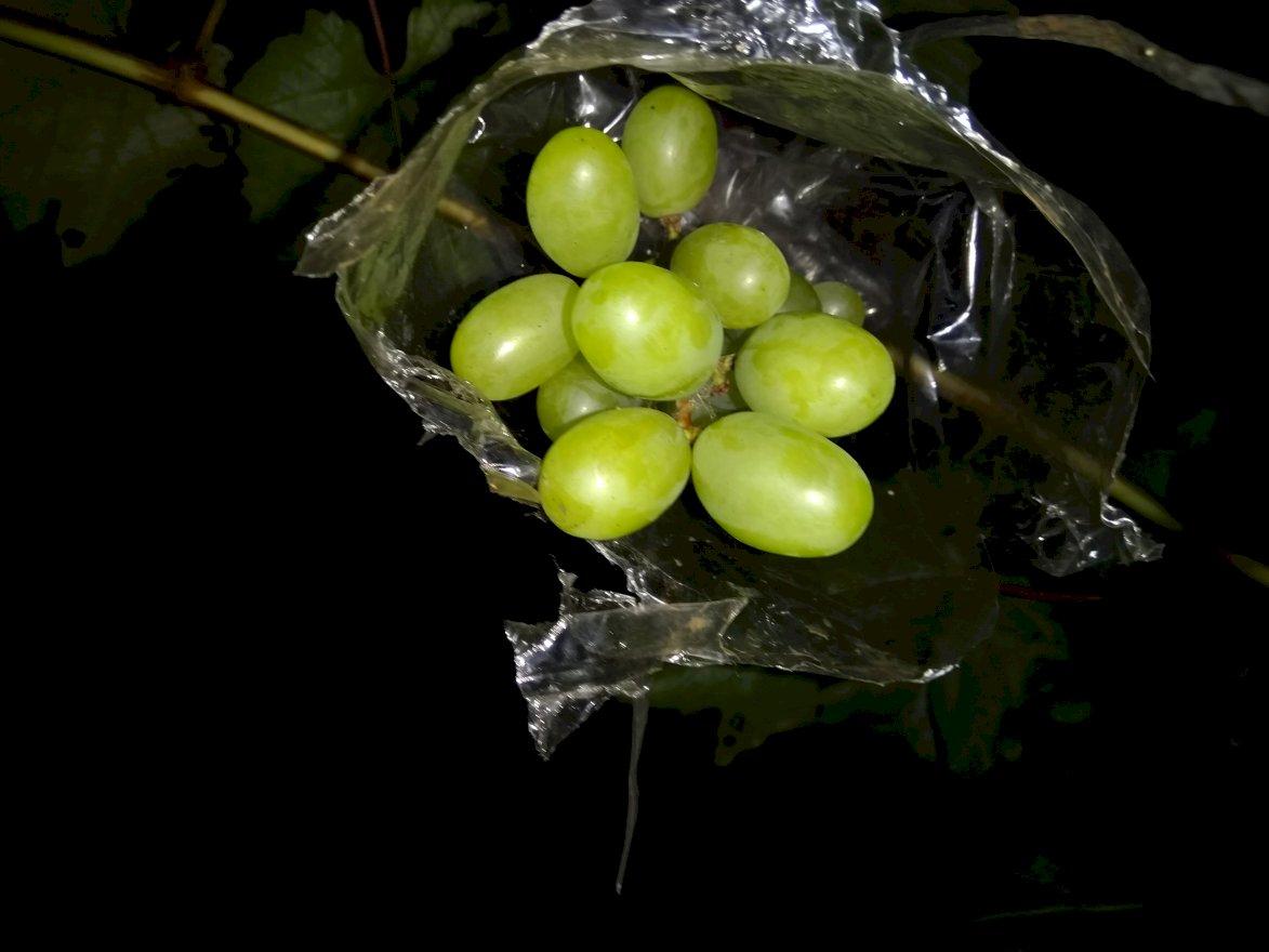 Bibit Anggur Import Manis
