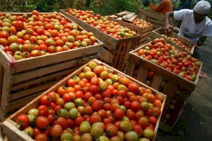 Tomat grade super