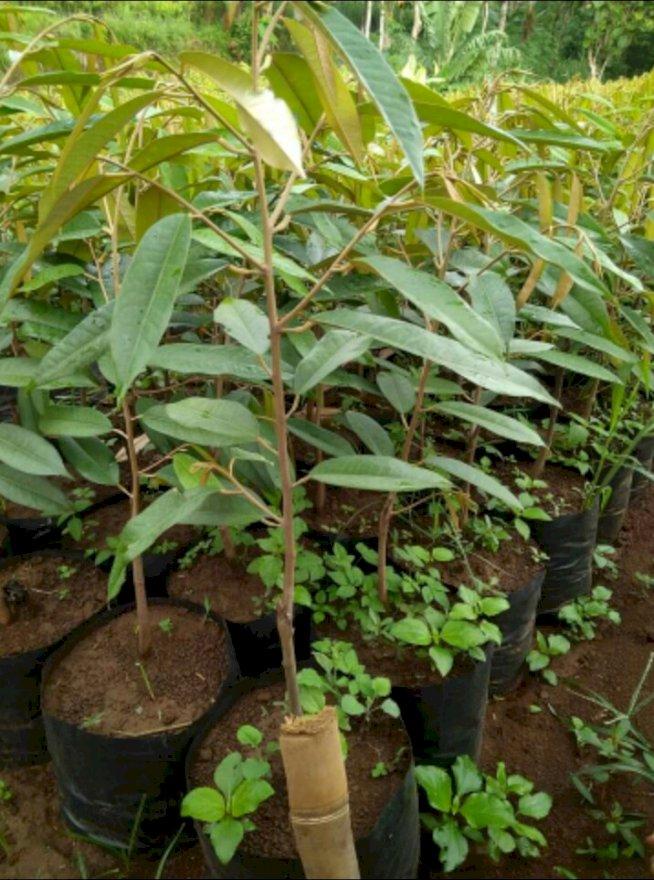 pohon durian musangking